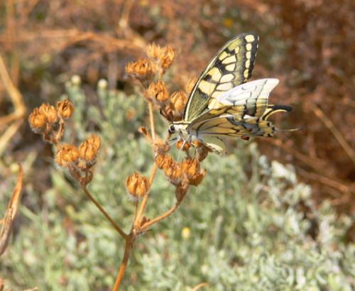 Azerbaijan Butterfly