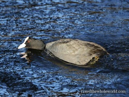 Belgium Brussels Pond Duck
