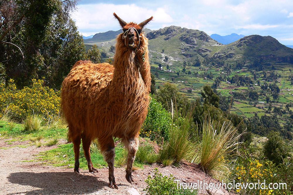 Bolivia Llama