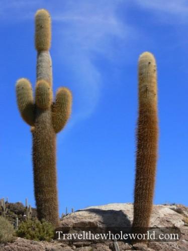 Bolivia Salt Pan Island Cactus