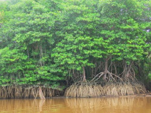 Brunei Mangrove Swamp