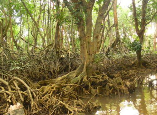 Brunei Mangrove Swamps