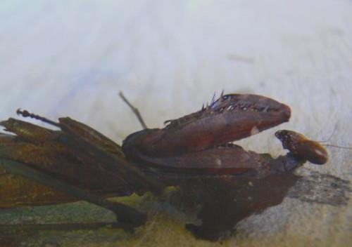 Brunei Mantis