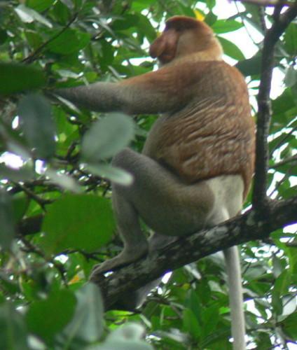 Brunei Monkey Proboscis