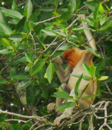 Brunei_Monkey_Proboscis2