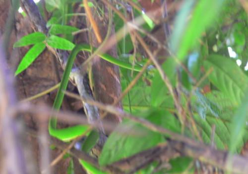 Brunei Vine Snake
