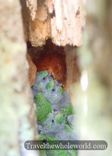 Chile Patagonia Baby Birds