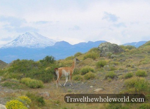 Chile Guanacos