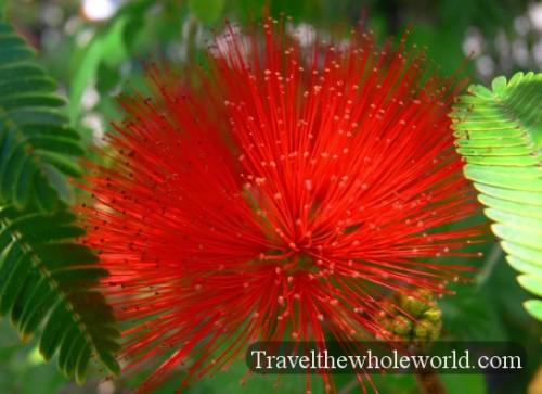 Chile Santiago St Lucia Flower