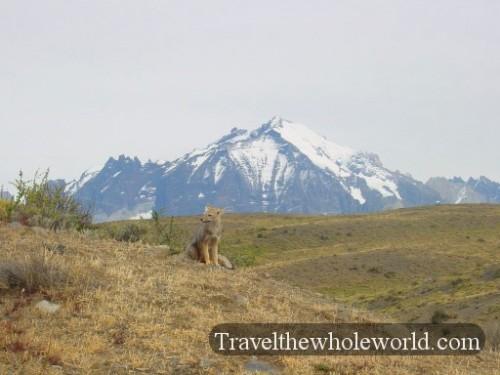 Chile Torres Del Paine Fox