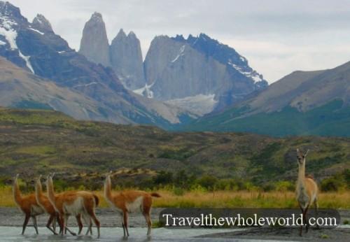 Patagonia Guanacos