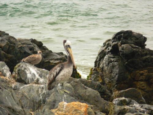 Chile Vina Del Mar Pelican