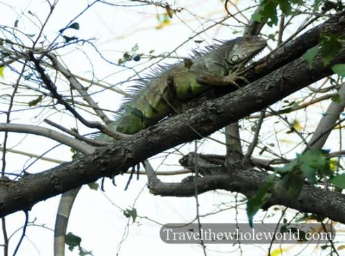 Colombia Iguana