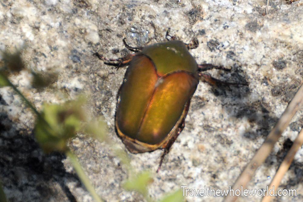 Colombia Tayrona Beetle
