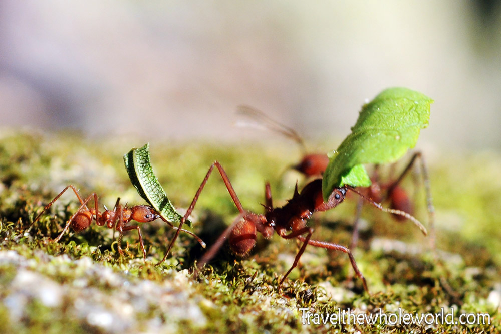 Colombia Tayrona Leaf Cutter Ants
