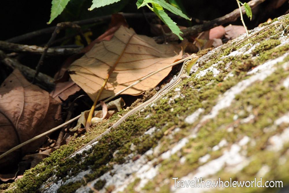 Colombia Tayrona Lizard