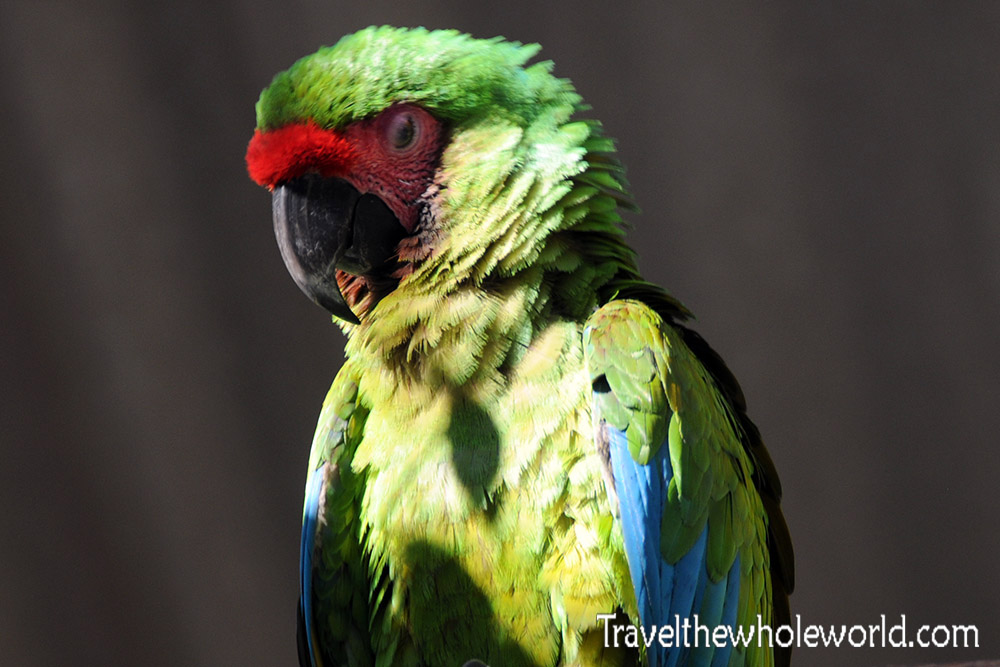 Colombia Parrot