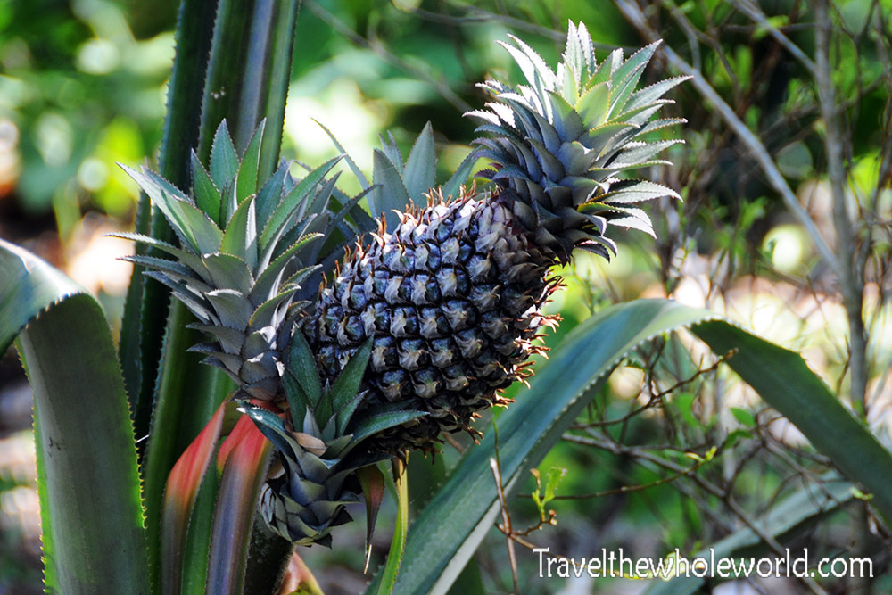 Colombia Tayrona Pineapples