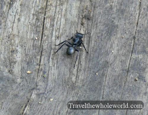 Ecuador Amazon Conga Ant