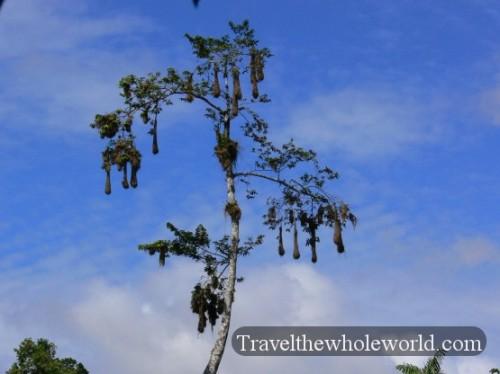 Ecuador Amazon Birds Crested Oropendolas