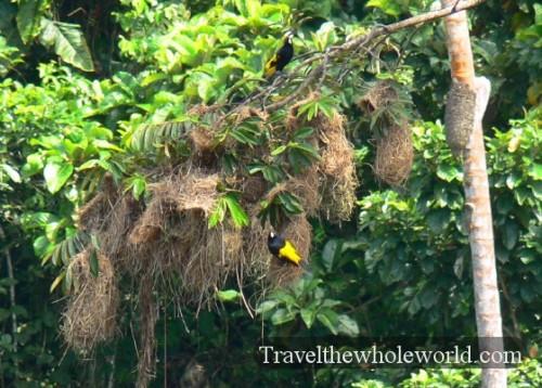 Ecuador Amazon Bird Gold