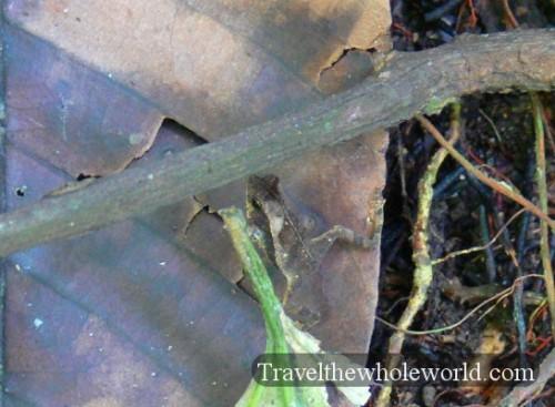 Ecuador-Amazon-Frog