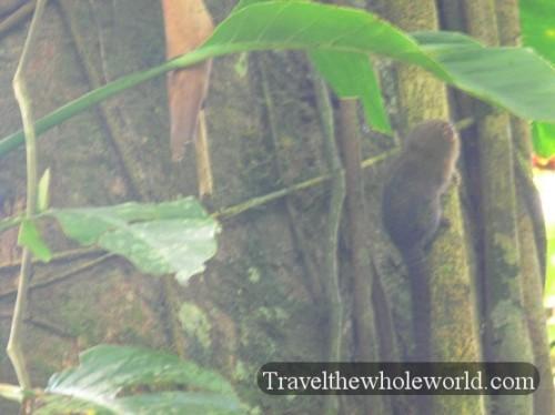 Ecuador Amazon Pigmy Monkey