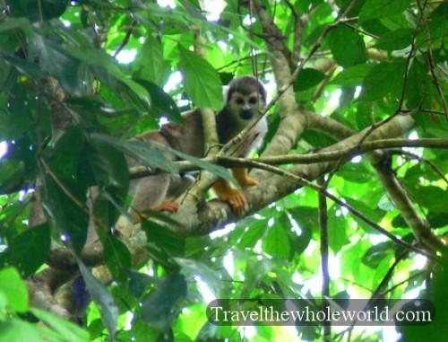 Ecuador Amazon Spider Monkey