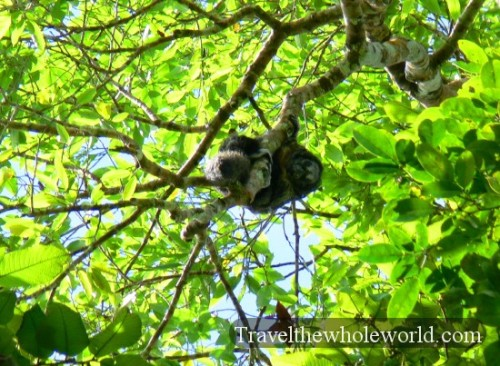 Ecuador Amazon Monkey Ugly
