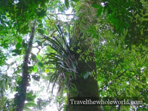 Ecuador Amazon Plant