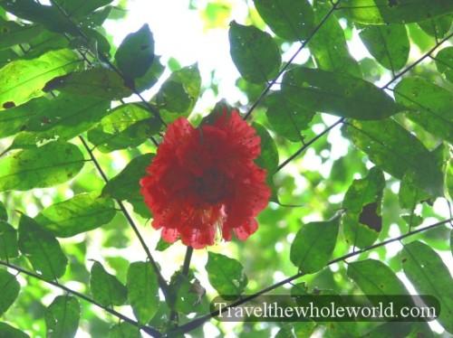 Ecuador Amazon Flower Rose