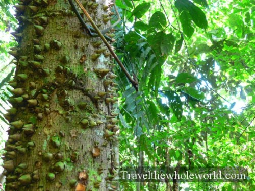 Ecuador Amazon Spikey Tree