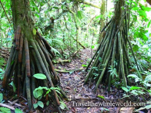Ecuador Amazon Tree Roots