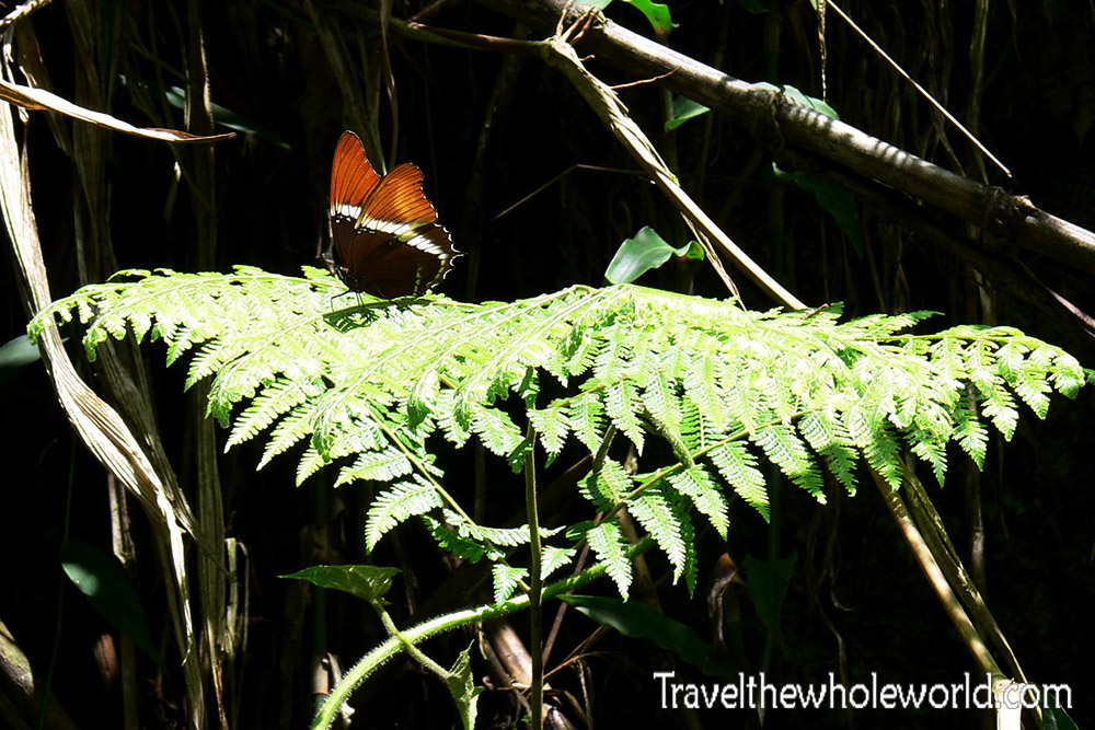 Ecuador Cloud Forest Butterfly