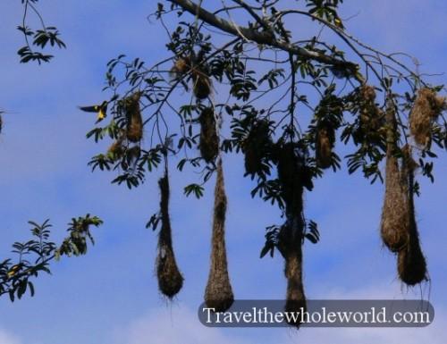Ecuador Amazon Crested Oropendolas Nests