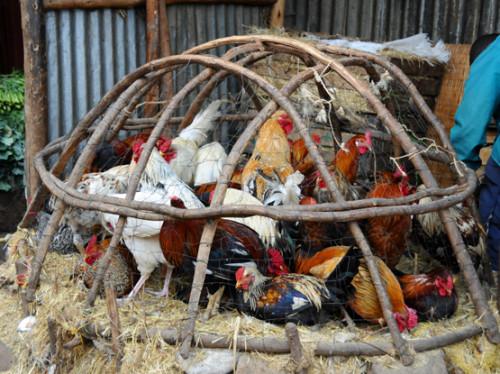 Ethiopia Addis Ababa Mercato Chickens