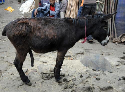 Ethiopia Addis Ababa Mercato Donkey