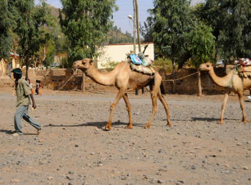 Ethiopia Axum Camels