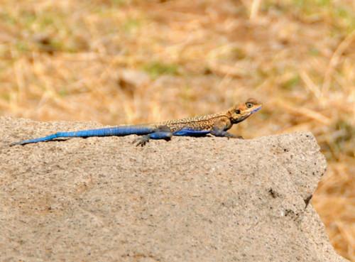 Ethiopia Axum Lizard