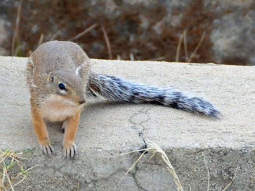 Ethiopia Axum Squirrel