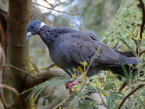 Ethiopia Bird Pigeon