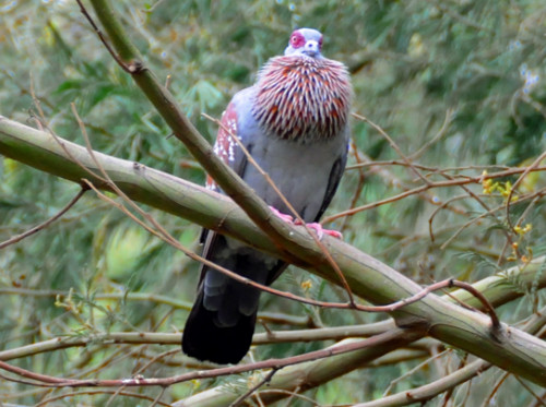 Ethiopia Bird Speckled Pigeon