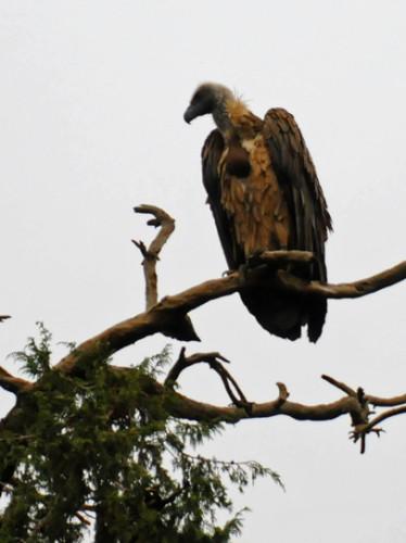 Ethiopia Bird Vulture