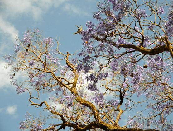 Ethiopia Tree Purple