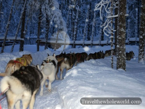 Arctic Sled Dogs Huskies