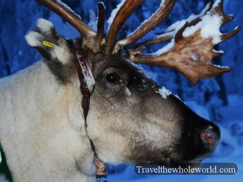 Finland-Rovaniemi-Reindeer