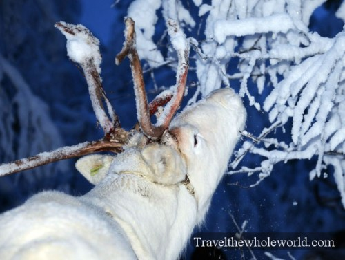 Arctic Reindeer Eating