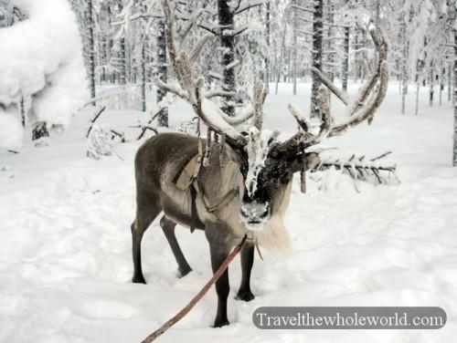 Rovaniemi Reindeer