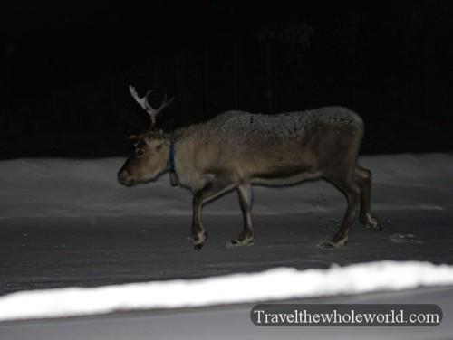 Finland Rovaniemi Street Reindeer