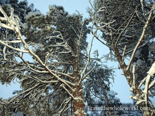 Finland Rovaniemi Frozen Trees